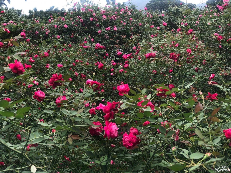 karose hoa hong
